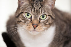 Gato joven de ojos verdes Fotos de archivo libres de regalías