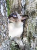 Gato joven de pelo corto, color del punto del sello con los ojos azules en un abedul Fotografía de archivo libre de regalías