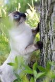 Gato joven de pelo corto, color del punto del sello con los ojos azules en un abedul Foto de archivo