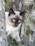 Gato joven de pelo corto, color del punto del sello con los ojos azules en un abedul Foto de archivo libre de regalías
