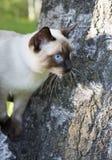 Gato joven de pelo corto, color del sello-punto con los ojos azules en un abedul Imagenes de archivo
