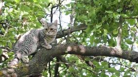Gato joven escocés a cazar para los pájaros almacen de video