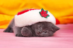 Gato joven escocés hermoso Fotos de archivo libres de regalías