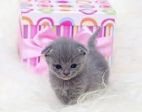 Gato joven escocés hermoso Fotografía de archivo