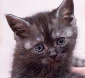 Gato joven escocés hermoso Imagen de archivo libre de regalías