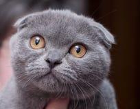 Gato joven escocés hermoso Imagen de archivo