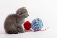 Gato joven escocés hermoso Fotografía de archivo libre de regalías