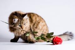 Gato joven para la tarjeta del día de San Valentín fotos de archivo libres de regalías