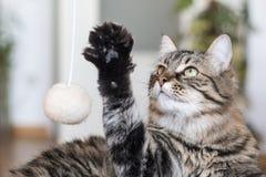 Gato juguetón Fotos de archivo libres de regalías