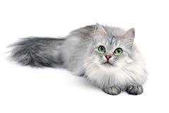 Gato juguetón Foto de archivo