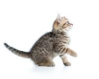Gato juguetón del gatito aislado en blanco Imagen de archivo