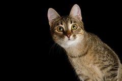 Gato juguetón en fondo negro aislado Fotos de archivo