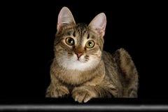 Gato juguetón en fondo negro aislado Fotos de archivo libres de regalías