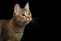 Gato juguetón en fondo negro aislado Imagenes de archivo