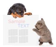 Gato juguetón y perrito del rottweiler que mira a escondidas de detrás tablero vacío Fotografía de archivo