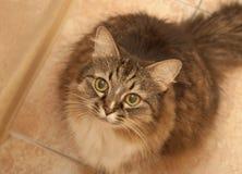 Gato lanudo Imagen de archivo libre de regalías