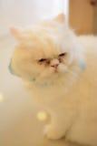 Gato largo del blanco del pelo Foto de archivo libre de regalías