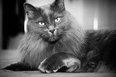 Gato largo gris del varón del pelo Fotografía de archivo libre de regalías