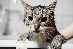 Gato limpio mojado en cuarto de baño fotografía de archivo