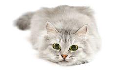 Gato lindo antes del salto Fotos de archivo