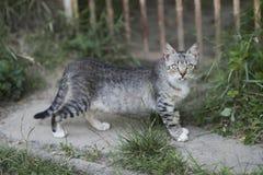 Gato lindo con el paseo gris de la piel en la trayectoria del jardín imagenes de archivo