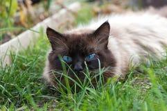Gato lindo con los ojos azules Foto de archivo