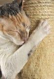 Gato lindo con los ojos cerrados que rasguñan un poste Imagen de archivo libre de regalías