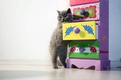 Gato lindo de británicos Shorthair Foto de archivo libre de regalías