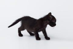 Gato lindo de la parte posterior del gatito que juega en el fondo blanco Imagen de archivo libre de regalías