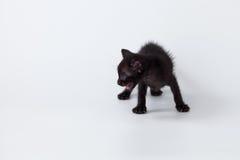 Gato lindo de la parte posterior del gatito que juega en el fondo blanco Foto de archivo libre de regalías