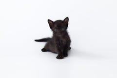 Gato lindo de la parte posterior del gatito que mira en el fondo blanco Fotos de archivo libres de regalías
