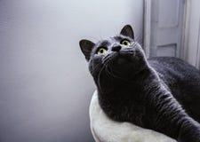 Gato lindo del chartreux que mira para arriba y que descansa en casa foto de archivo