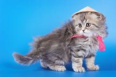 Gato lindo del doblez del escocés del gatito Imagenes de archivo