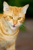 Gato lindo del jengibre Imágenes de archivo libres de regalías