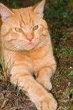 Gato lindo del jengibre que miente al aire libre Foto de archivo libre de regalías