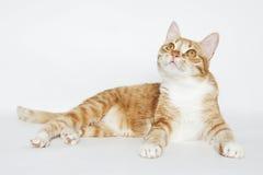 Gato lindo del jengibre que miente en el blanco Imagen de archivo libre de regalías