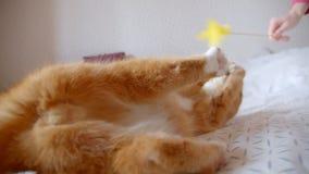 Gato lindo del jengibre que miente en la parte posterior en la cama que intenta coger un tickler que es juguetón y alegre en casa metrajes