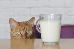 Gato lindo del jengibre que parece curioso a una taza de leche Fotografía de archivo libre de regalías