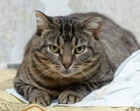 Gato lindo del shorthair del gato atigrado Foto de archivo libre de regalías
