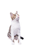 Gato lindo del shorthair, incorporándose y mirando Aislado en un fondo blanco Foto de archivo