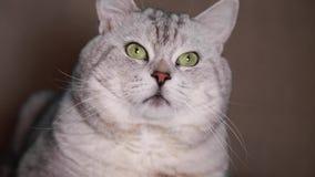 Gato lindo después del movimiento con el bozal almacen de video