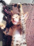 Gato lindo el dormir Fotografía de archivo libre de regalías