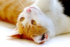 Gato lindo en una posición de mentira Fotografía de archivo libre de regalías