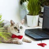 Gato lindo inteligente cerca con el ordenador portátil Animal en la corbata de lazo roja en el ordenador de oficina Fotos de archivo
