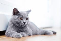 Gato lindo joven que descansa sobre piso de madera Foto de archivo