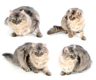 Gato lindo mullido Imagen de archivo