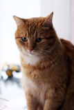 Gato lindo, peludo Foto de archivo