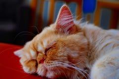 Gato lindo que duerme en la silla Foto de archivo libre de regalías