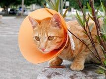 Gato lindo que lleva el cuello plástico anaranjado del cono Imagen de archivo