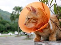 Gato lindo que lleva el cuello plástico anaranjado del cono foto de archivo